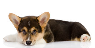 Pembroke Welsh Corgi puppy. Stock Photos