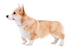 Pembroke Welsh Corgi puppy Royalty Free Stock Photos
