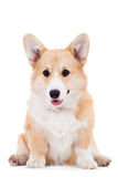 Pembroke Welsh Corgi puppy Royalty Free Stock Image