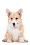 Pembroke Welsh Corgi puppy. Isolated on a white background Royalty Free Stock Image