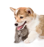 Pembroke Welsh Corgi puppy and kitten looking away. isolated on white Stock Photo