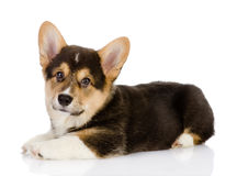 Pembroke Welsh Corgi puppy. Royalty Free Stock Photos
