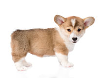 Pembroke Welsh Corgi puppy looking at camera. isolated on white Royalty Free Stock Photos