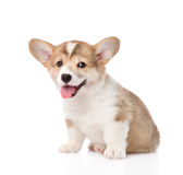 Pembroke Welsh Corgi puppy looking at camera. isolated on white Royalty Free Stock Image
