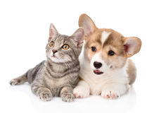 Pembroke Welsh Corgi puppy lying with cat together. isolated on white Stock Photo