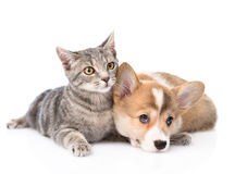 Pembroke Welsh Corgi puppy lying with cat together. isolated Stock Photo