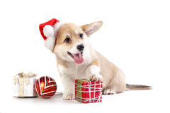 Pembroke Welsh Corgi puppy Royalty Free Stock Photo