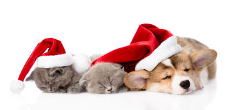 Pembroke Welsh Corgi puppy with red santa hat and two kittens sleeping together. isolated on white Stock Photo