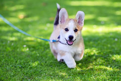 Pembroke welsh corgi puppy running. Against green grass background Royalty Free Stock Photos