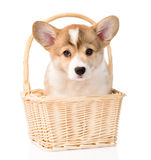 Pembroke Welsh Corgi puppy sitting in basket. isolated on white Stock Image