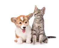 Pembroke Welsh Corgi puppy sitting with cat together. isolated Stock Photo