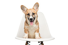 Pembroke Welsh Corgi puppy sitting on chair. looking at camera. Stock Photos