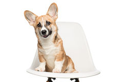 Pembroke Welsh Corgi puppy sitting on chair. looking at camera. Stock Image