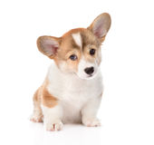 Pembroke Welsh Corgi puppy sitting in front. isolated Stock Photography
