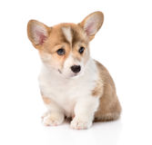 Pembroke Welsh Corgi puppy sitting in front. isolated on white Stock Images