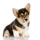Pembroke Welsh Corgi-puppyzitting. royalty-vrije stock foto's