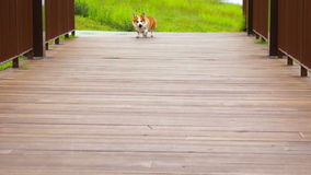 Pembroke Welsh Corgi Royalty Free Stock Images