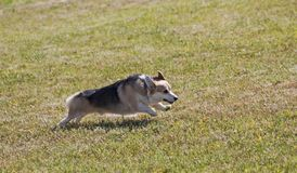 Pembroke Welsh Corgi Running Free royalty free stock image