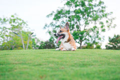 Pembroke Welsh Corgi sitting in grass at the park. Pembroke Welsh Corgi sitting in grass at the park Royalty Free Stock Photo