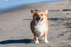 Pembroke Welsh Corgi sur la plage de chien photo libre de droits