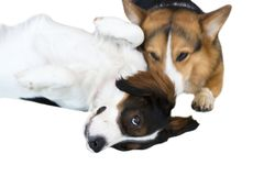Pembroke Welsh Corgi and tricolor Australian isolate on white background. Clipping path stock images