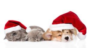 Pembroke Welsh Corgi valp med röda santa hattar och två kattungar som tillsammans sover Isolerat på vit Fotografering för Bildbyråer