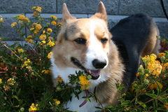 Pembroke Welsh Corgi With Yellow-Blumen lizenzfreies stockbild