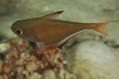 Pempheris vanicolensis - Andaman Sea Stock Photography