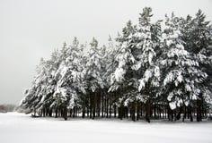Pen¢asco del pino Nevado Fotos de archivo