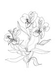 Pen drawing alstrameriya flower Royalty Free Stock Photography