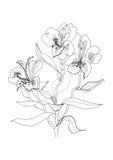 Pen drawing alstrameriya flower Royalty Free Stock Photography