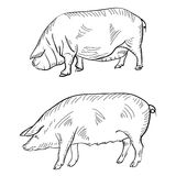 Pen drawing depicting a pig. The Pen drawing depicting a pig Royalty Free Stock Image