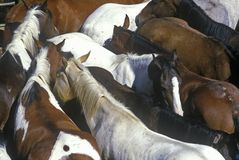 Pen of horses at 65th Annual Inter-Tribal Ceremonial Indian Rodeo, Gallup, NM Stock Image