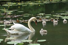 Pen Mute Swan and cygnets. Pen mute swan and , england, bird, water, pond, lake, white, graceful, family royalty free stock photography