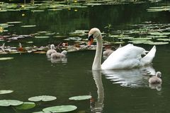 Pen Mute Swan and cygnets. Pen mute swan and , england, bird, water, pond, lake, white, graceful, family stock photos