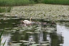 Pen Mute Swan and cygnets. Pen mute swan and , england, bird, water, pond, lake, white, graceful, family, sussex, countryside stock photos