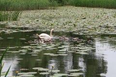 Pen Mute Swan och unga svanar arkivfoton