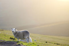 Pen Y Fan, a sheep on top of the mountain in a sunny day Royalty Free Stock Photos