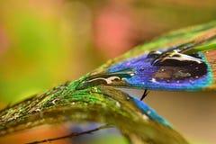 Pena bonita do pavão com gotas da chuva Imagens de Stock