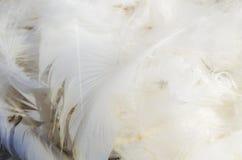 Pena branca do pássaro Fotografia de Stock