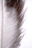 Pena da avestruz Imagens de Stock Royalty Free