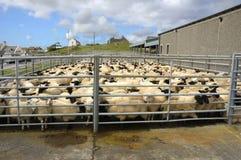 Pena de carneiros Imagens de Stock Royalty Free