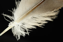 Pena de pássaro do close-up Imagens de Stock Royalty Free