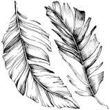 Pena de pássaro do vetor da asa isolada Elemento isolado da ilustração Ilustração Royalty Free