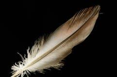 Pena de pássaro lisa Fotografia de Stock
