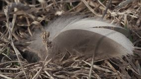Pena de pássaro que balança no close-up do vento filme