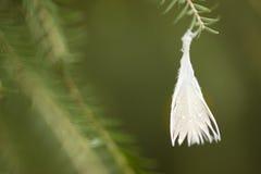 Pena de pássaro que pendura de um galho Fotografia de Stock