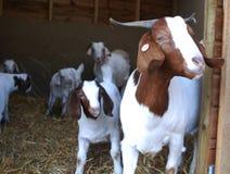 Pena de saída das cabras do Boer, a branca e a marrom Fotos de Stock Royalty Free