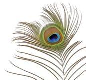 Pena do pavão no branco imagens de stock