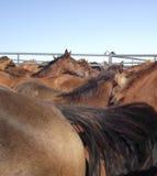 Pena dos cavalos Fotografia de Stock Royalty Free
